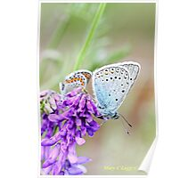 Amanda's Blue, plebejus amandus, with Idas Blue in background Poster