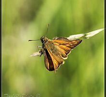 Large Skipper (Ochlodes sylvanus) (I) by DonMc