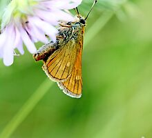 Small Skipper, Thymelicus sylvestris by pogomcl