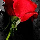 Rose For You by RajeevKashyap