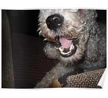 Scruffy Bedlington Terrier and His Treat Poster