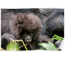Young Mountain Gorilla, Rwanda Poster