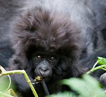 Young Gorilla, Volcanoes National Park Rwanda by Sue Earnshaw