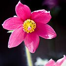 Pulsatilla vulgaris var. rubra (Pasque Flower) by Nala