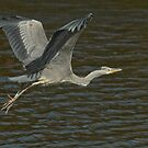 Juvenile Grey Heron by Robert Abraham