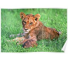 Lion cub and tortoise Poster