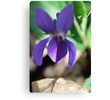 Spring Violets Canvas Print