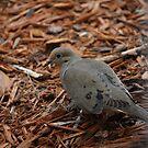 Dove by Sazzyshortness