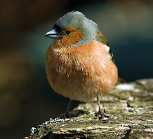 Chaffinch by keighley