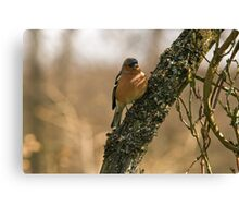 Chaffinch in tree Canvas Print