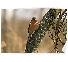 Chaffinch in tree Poster