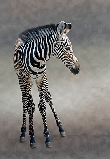 Dreams in Black and White (Grevy's Zebra) by Krys Bailey