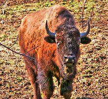 Buffalo by ECH52