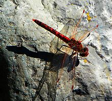 Dragonfly by rocamiadesign
