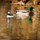 Two ducks by elab