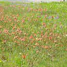 Texas Spring Wildflowers by icesrun