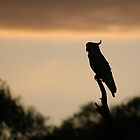 Cockatoo in the early morning - Upper Plenty by saltbushbill