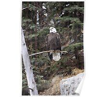 Bald Eagle 3 Poster