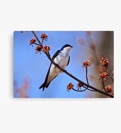 Tree Swallow on Red Maple Branch - Ottawa Ontario Canvas Print