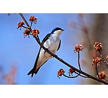 Tree Swallow on Red Maple Branch - Ottawa Ontario Photographic Print