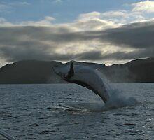 Humpback Breaching by thebeachdweller