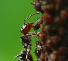 a feast of aphid honey by Clare Colins