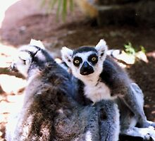 Ringtailed Lemurs (One With Tongue Sticking Out) by Michelle Miller