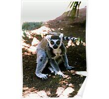 Ringtailed Lemur Poster
