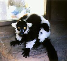 Black and White Lemur in the Shade by Michelle Miller