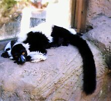 Black and White Lemur Lounging by the Window by Michelle Miller