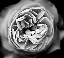 A rose by any other name...  by AnnabelHC