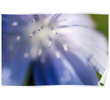 Blue Chicory Poster