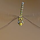 Southern Hawker by Hugh J Griffiths