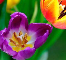 Tulips by buttonpresser