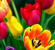 Colourful Tulips by buttonpresser