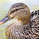 Female Mallard - Close up by Michael  Moss