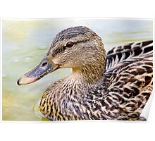 Female Mallard - Close up Poster
