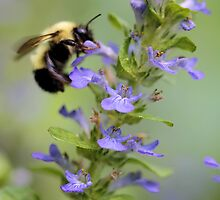 Blue Ajuga -- Bumble Bee by T.J. Martin