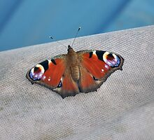 Peacock Butterfly by Chris Monks