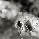 stream-side teasel, Miravete de la Sierra, Maestrazgo, Spain by Andrew Jones