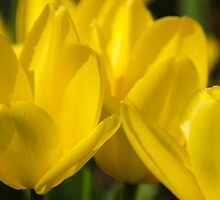 Yellow Tulip Flowers by Christina Rollo