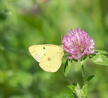 Sulphur On Clover by EugeJ