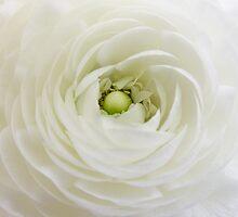 White Rununculus by Ann Garrett