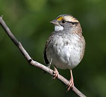 Song Master / White Throated Sparrow by Gary Fairhead
