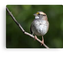 Song Master / White Throated Sparrow Canvas Print