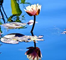 White Water Lily in the Sun by Amy McDaniel