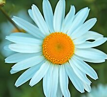 A perfect summer white daisy flowers and yellow stigma. by naturematters