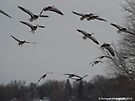 A Flock of Snow Geese and one Mallard Duck in Flight. by Barberelli