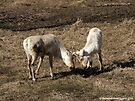 Caribou Females Fighting  by Barberelli