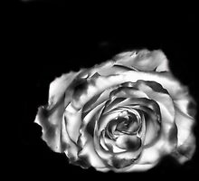 Dream Rose in B&W by pdsfotoart
